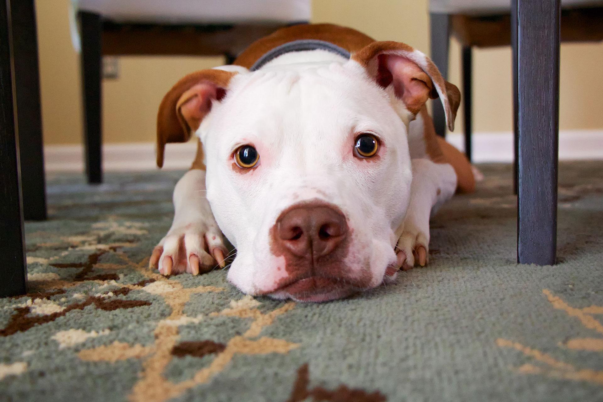 removing-pet-odors